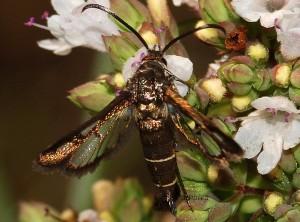 Pyropteron leucomelaena femelle 06 2