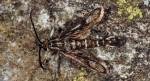 Pyropteron meriaeformis (I)