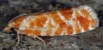 Rhyacionia pinicolana 06 1