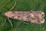 Sattleria pyrenaica (I)