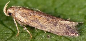 Scrobipalpa acuminatella 1