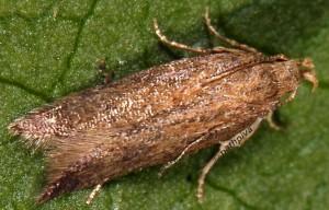Scrobipalpa acuminatella 2