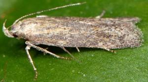 Scrobipalpa acuminatella 5