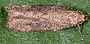 Scrobipalpa acuminatella 9