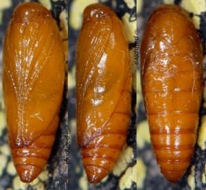 Scrobipalpa acuminatella p