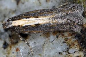 Scrobipalpa artemisiella 09