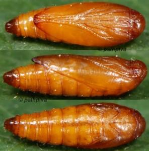 Scrobipalpa artemisiella p