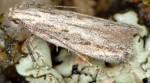 Scrobipalpa corsicamontes (I, G)