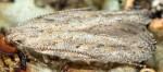 Scrobipalpa gallicella (I)