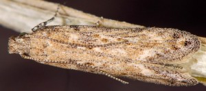 Scrobipalpa halymella 3