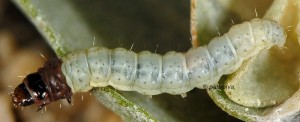 Scrobipalpa halymella L4 2
