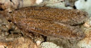 Scrobipalpa monochromella 1