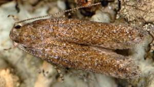 Scrobipalpa monochromella 2