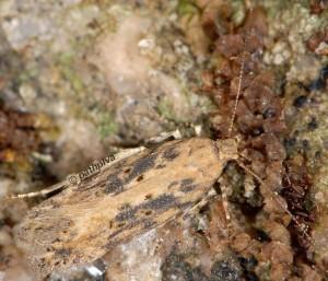 Scrobipalpa ocellatella 05