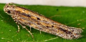 Scrobipalpa pauperella 3