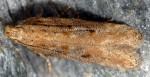 Scrobipalpa salinella (I, L5, G)
