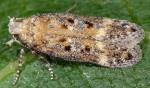 Scrobipalpa spergulariella (I, l5, N)