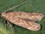 Scrobipalpa thymelaeae (I, G)