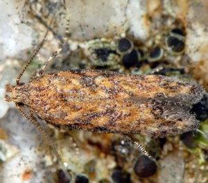 Scrobipalpa vasconiella 3