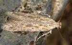 Scrobipalpula psilella (I, G)