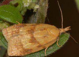 Sparganothis pilleriana 06 2