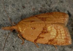 Sparganothis pilleriana 06 3