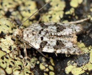 Sphaleroptera alpicolana 04 1