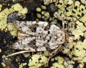 Sphaleroptera alpicolana 04 3