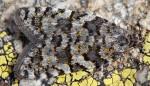 Sphaleroptera occidentana 06 1