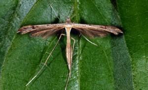 Stenoptilia annadactyla 06 1