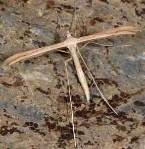 Stenoptilia aridus 06