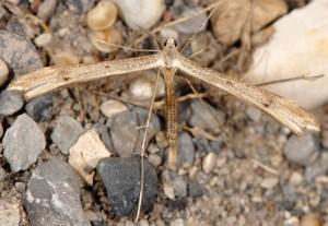 Stenoptilia arvernicus 05