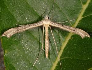 Stenoptilia arvernicus 2B