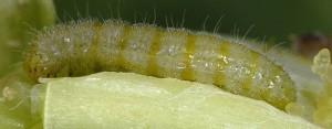 Stenoptilia arvernicus L5 05 3