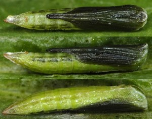 Stenoptilia arvernicus chrysalide 05 1