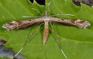 Stenoptilia asclepiadeae 06 1