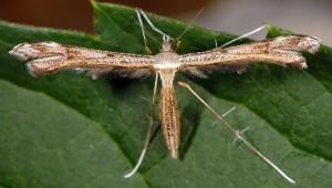 Stenoptilia asclepiadeae 06 2