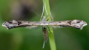 Stenoptilia asclepiadeae 06 3