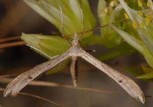 Stenoptilia bipunctidactyla 06 1