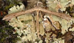 Stenoptilia bipunctidactyla 06 2