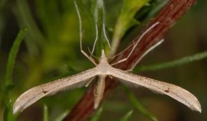Stenoptilia bipunctidactyla 06 3