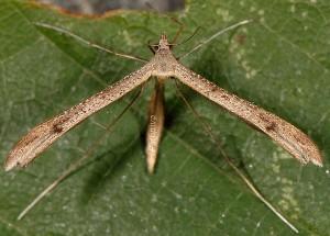 Stenoptilia bipunctidactyla 2B 1