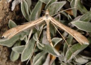 Stenoptilia coprodactylus 06 1