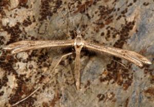 Stenoptilia coprodactylus 06 2