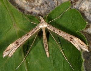 Stenoptilia coprodactylus 1