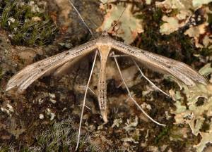 Stenoptilia coprodactylus 2