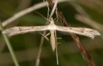 Stenoptilia coprodactylus 3