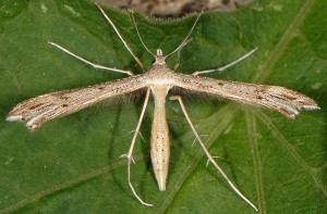 Stenoptilia coprodactylus 4