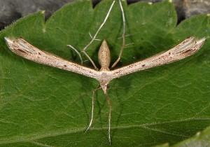 Stenoptilia coprodactylus 5
