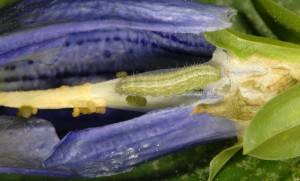 Stenoptilia coprodactylus L5 06 1